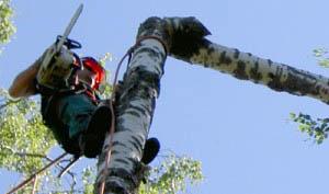 Metsäpalvelu KM Forest: Pihapuun kaato kiiveten